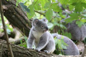 visit the cute koalas at Billabong Zoo