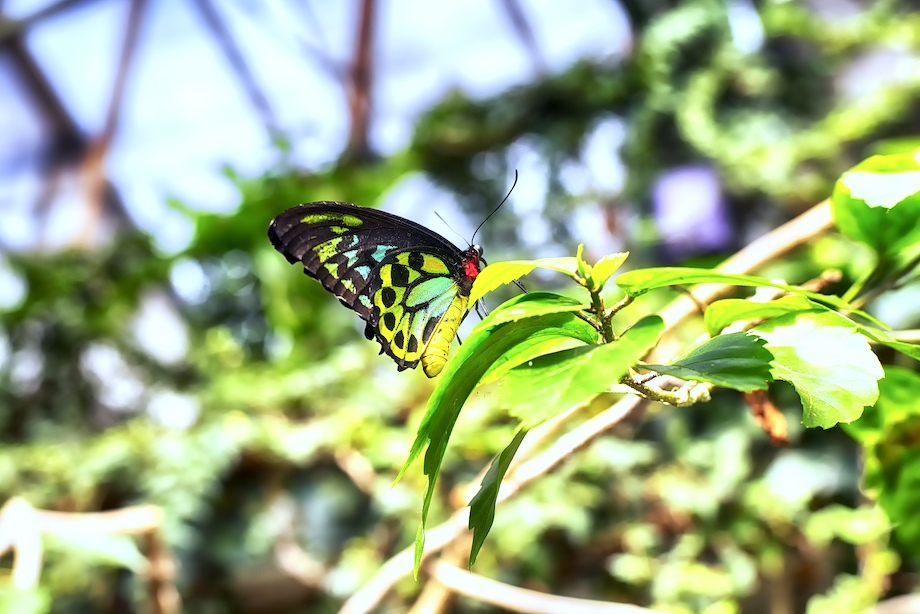 A male Ornithoptera euphorion or Cairns Birdwing Butterfly landing on a tropical plant within a tropical greenhouse.